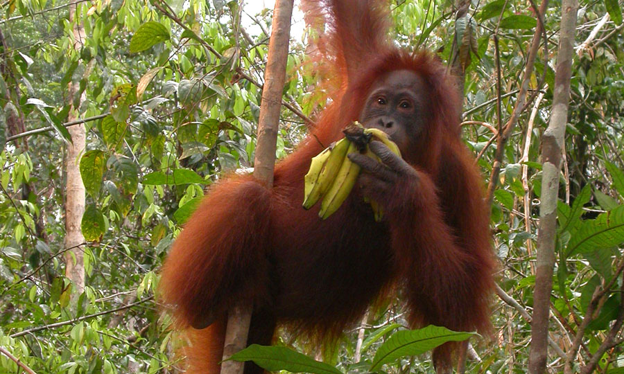 Orangutan diet, range, and activity at Tanjung Puting, Central Borneo